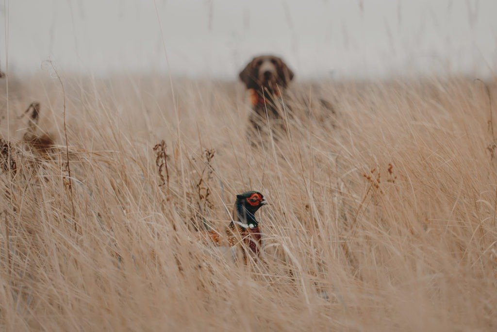 Pheasant bird hiding from a hunting dog