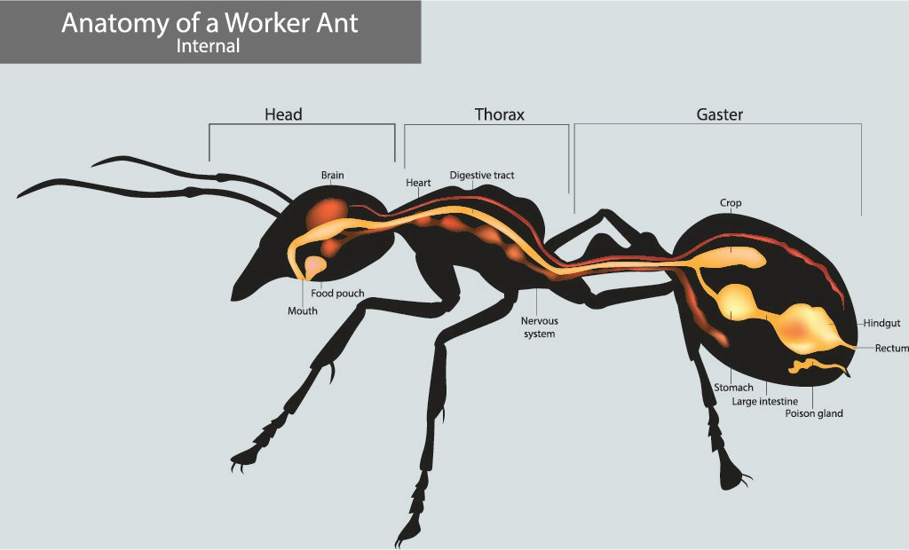 Anatomy of a worker ant.