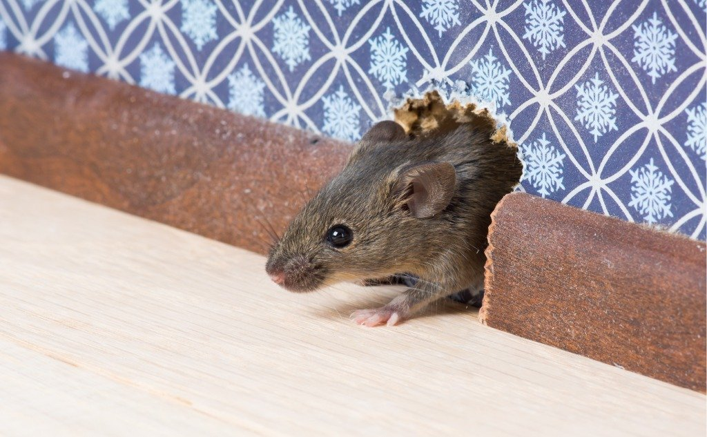 Do Rats and Mice Eat or Deter Spiders?