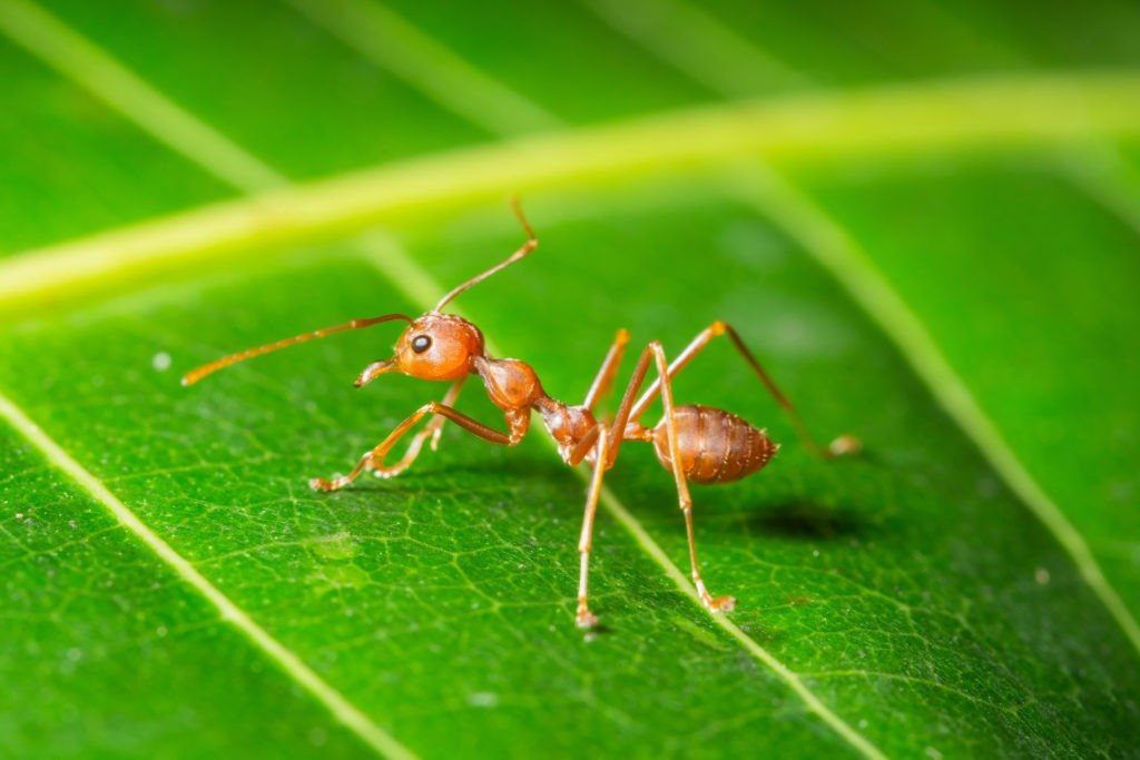 Macro red ant on a leaf.