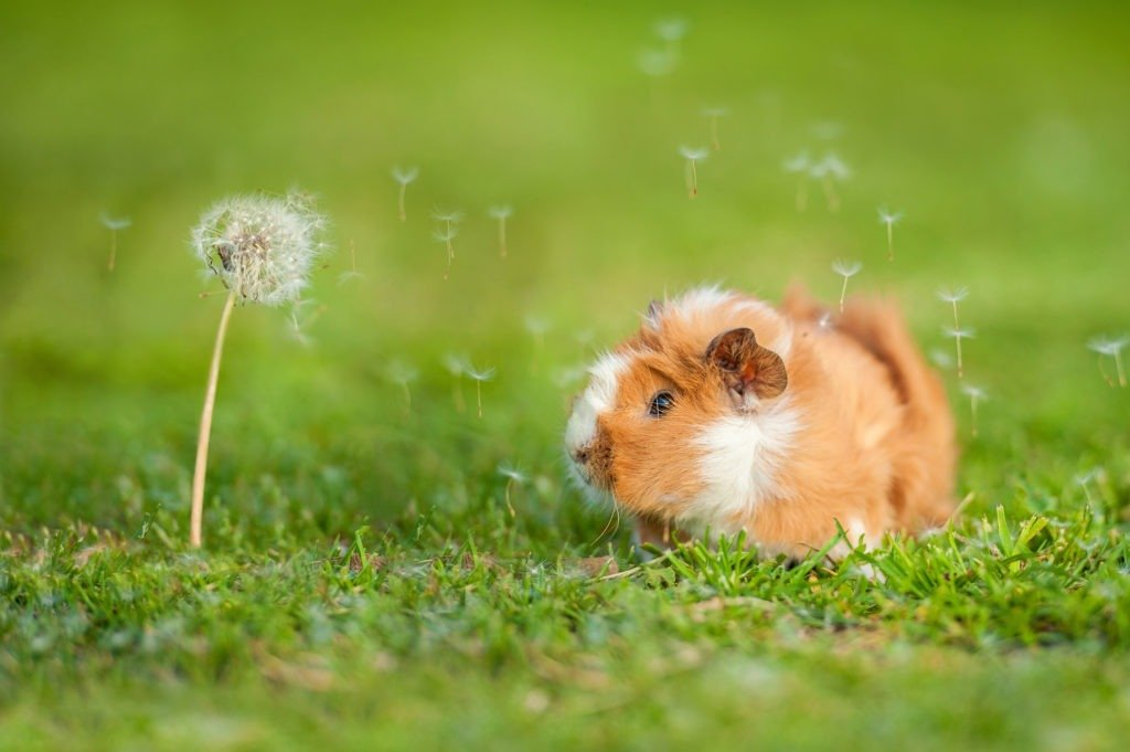 Guinea pig and dandelion with blowing seeds in the wind.