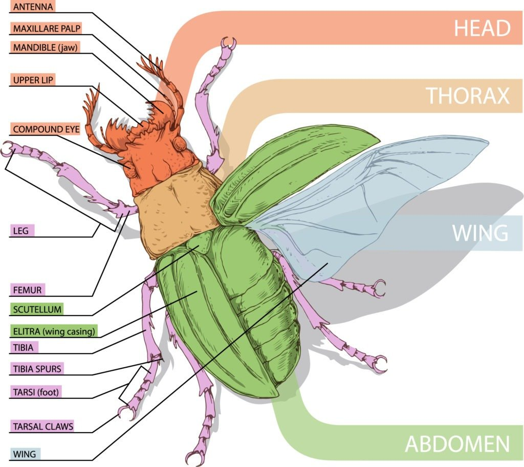 Anatomy of a insect.