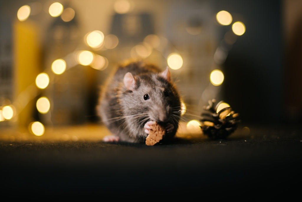 Close-up of one rat eats in room with bright garlands.