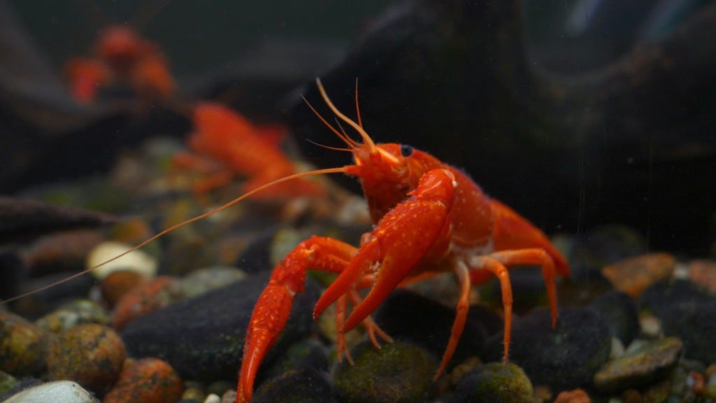Red, orange, brown and yellow lobster walking on rocks.