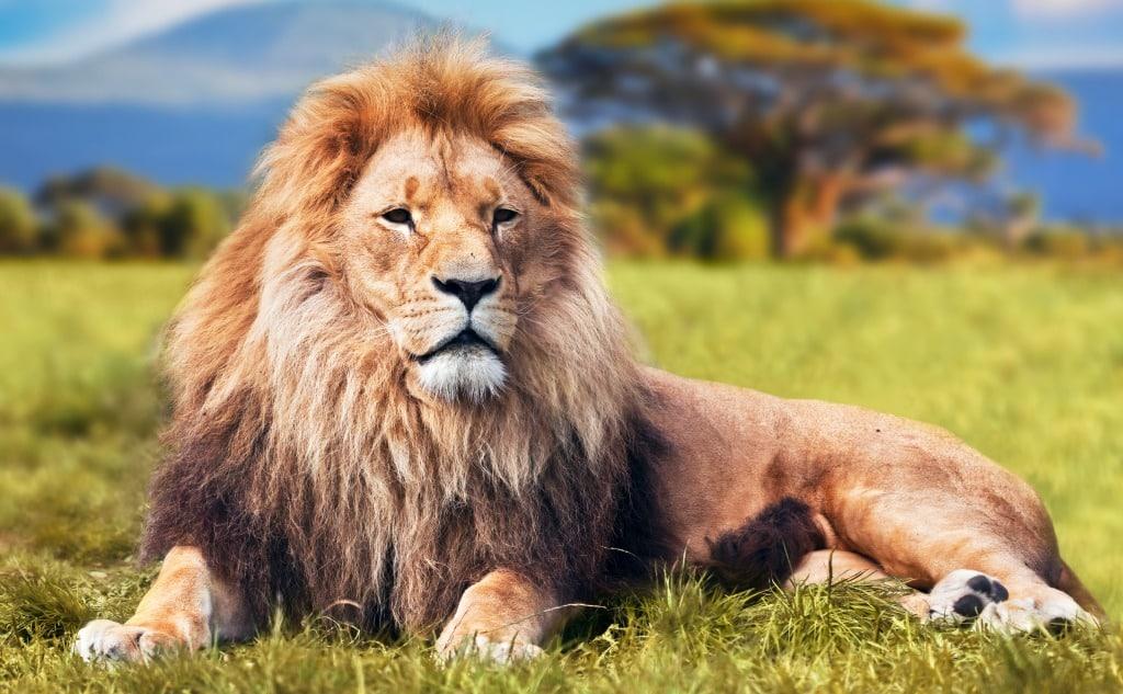 Do Lions Eat Plants?