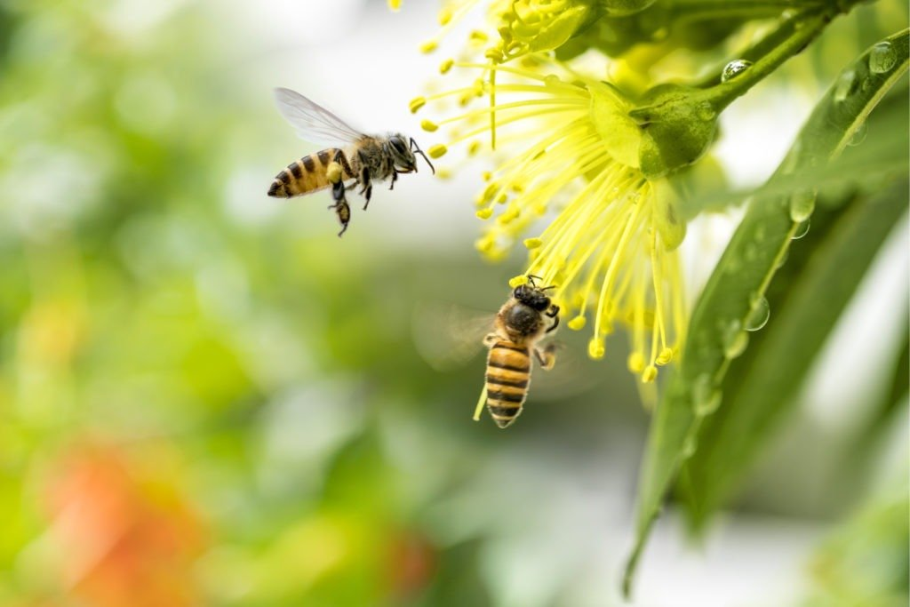 Flying honey bees pollinating yellow flower.