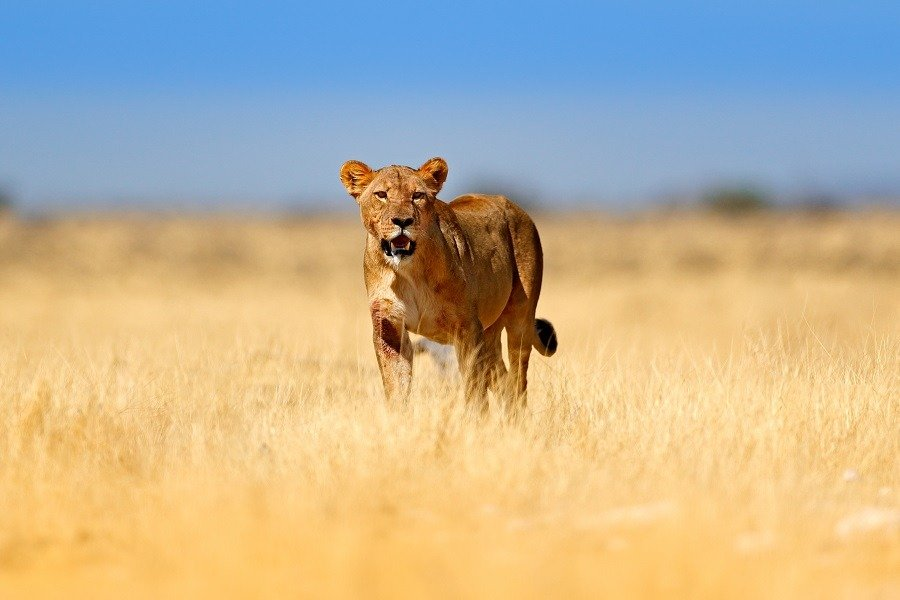 Big angry female lion walking in the grass in beautiful grassland.
