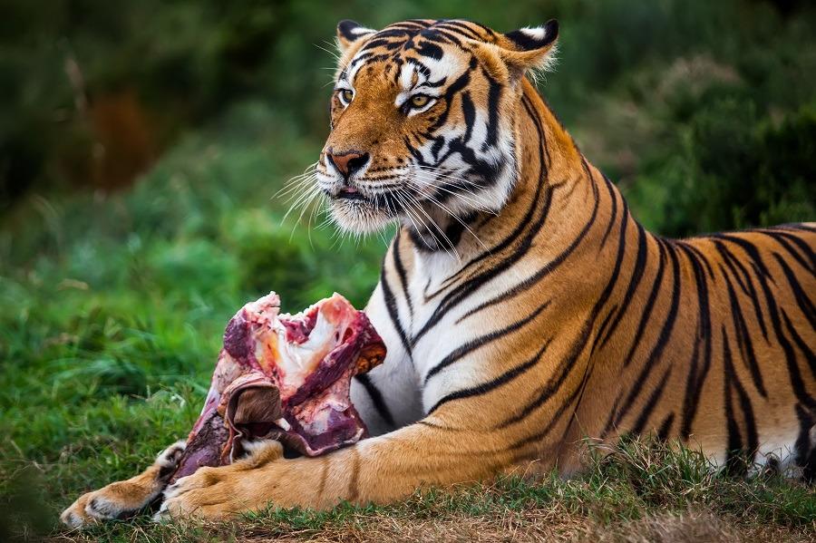 Tiger enjoying its meal.