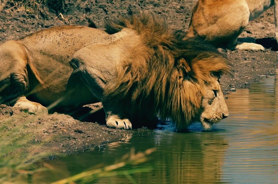 Lion drinking water in the lake.
