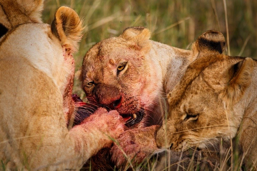 Lions eating from a wartog in the Masai Mara Game Reserve in Kenya.