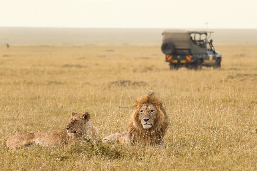 African lion couple lying on grass safari jeep in the background.