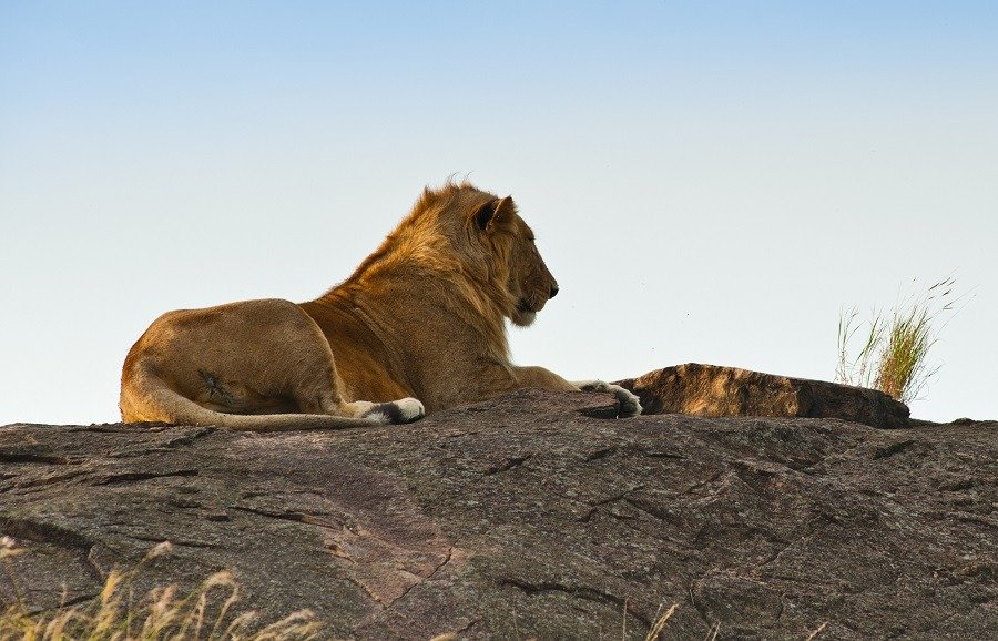 A lion relaxing on a huge rock in wild nature.