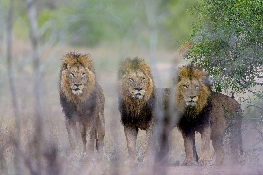 Male lion coalition in the wilderness.