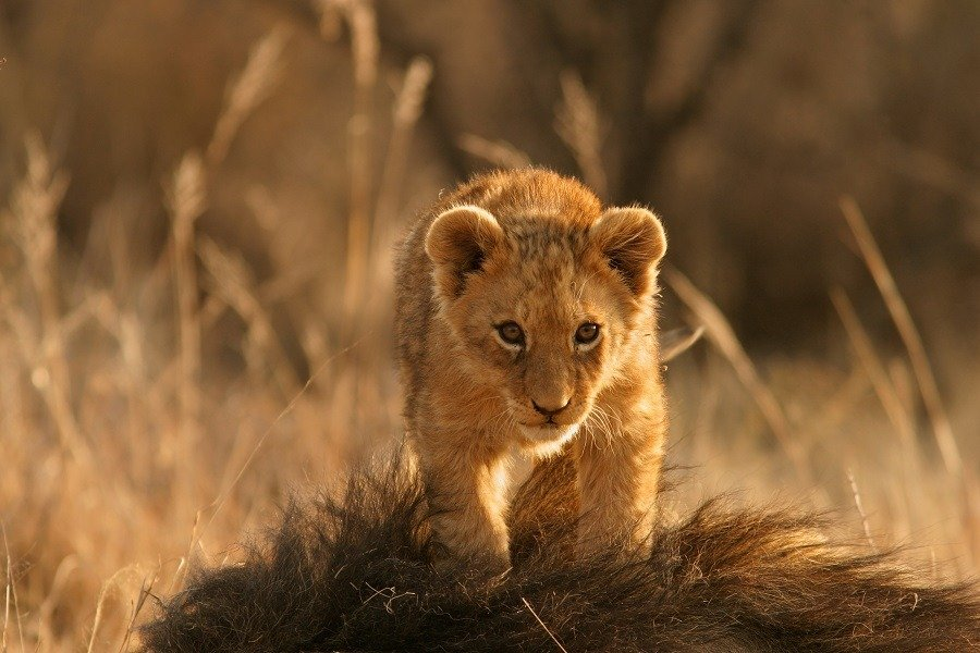 Cute lion cub on top of its mother.