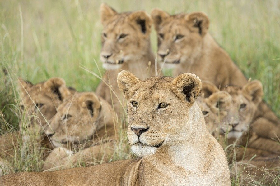 A pride of African lions in Tanzania.