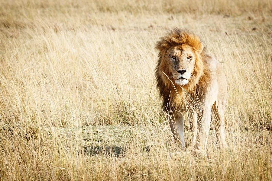 Beautiful male lion in walks alone in grassland.