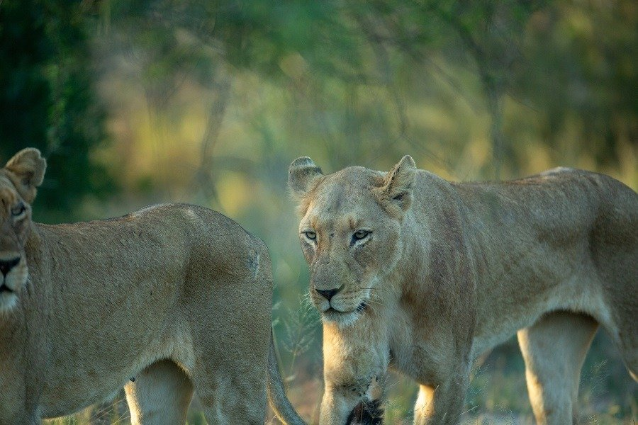 A pride of hungry lions hunting for a good meal.