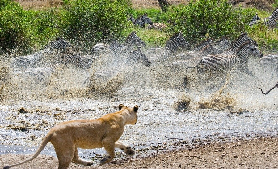 Lioness attacks on a zebra in water.