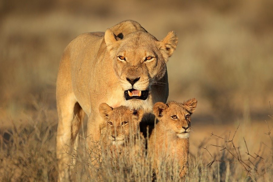 Lioness standing behind her young cubs.