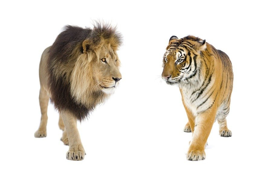 A lion and a tiger up close.