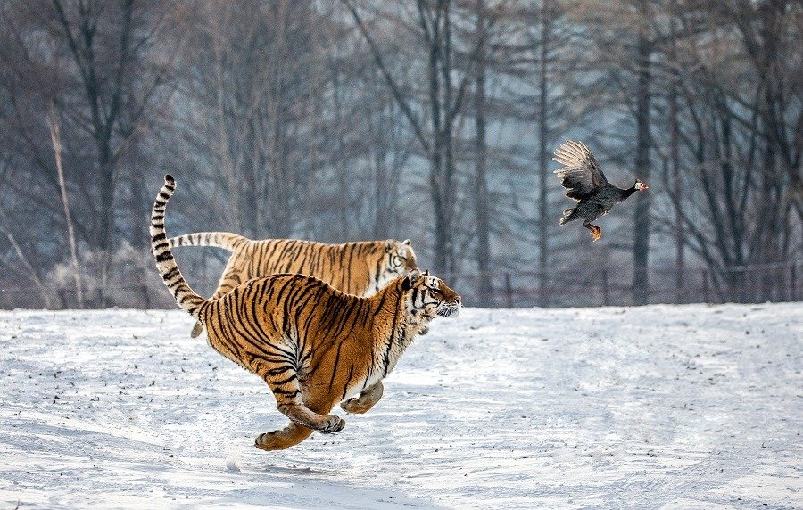 Siberian Tigers running in the snow and catch their prey.