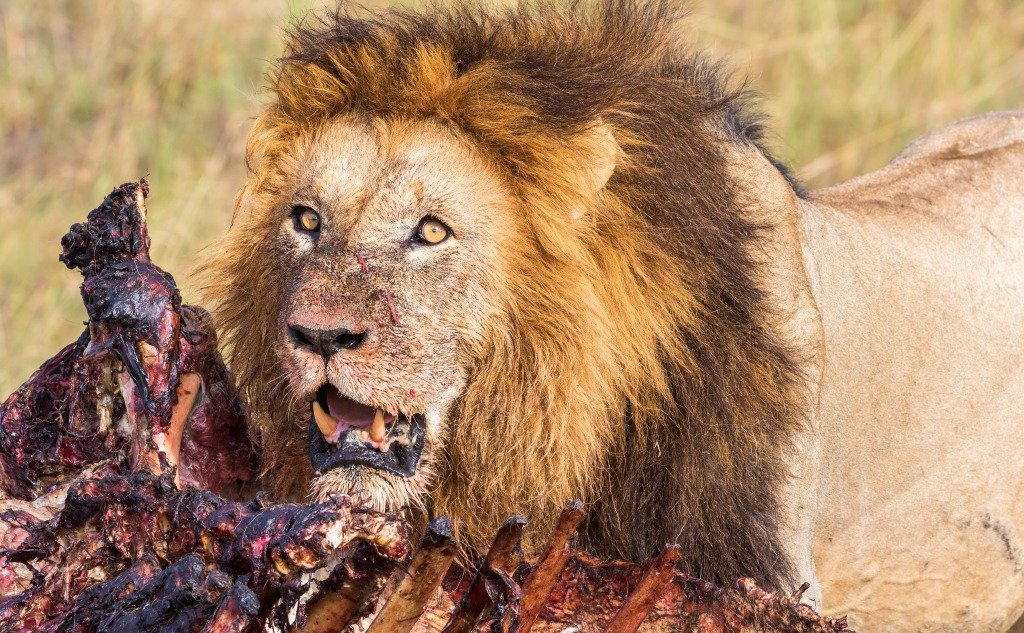 How Long Can a Lion Live Without Food? (+ Interesting Facts)