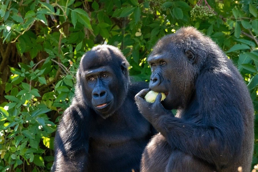 Two gorillas eating fruit.