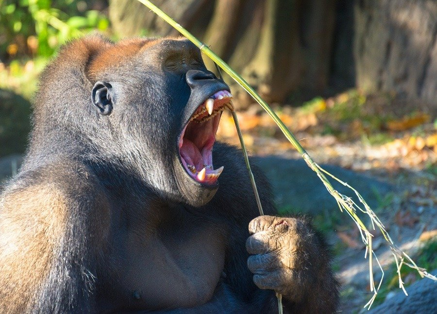 Gorilla with wide open mouth exposing teeth.