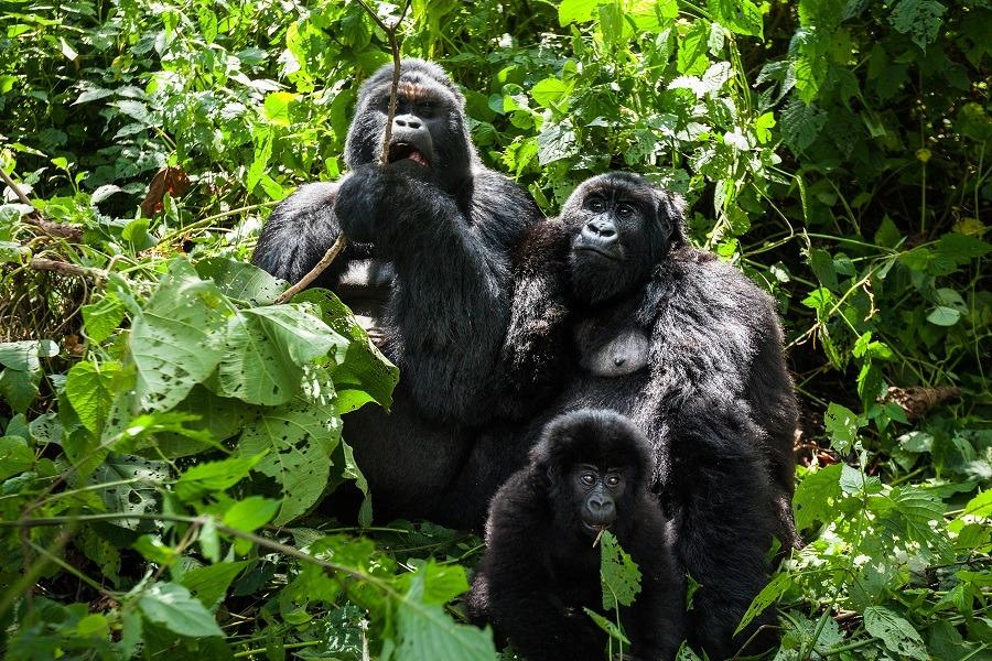 A family of endangered mountain gorillas in the rainforest of Virunga park.
