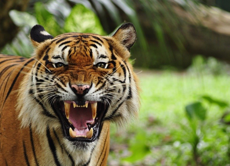 A big roaring tiger in the forest.