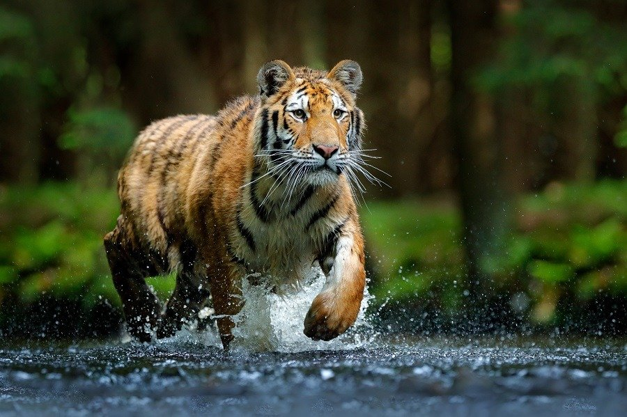 Amur tiger running in the stream in Siberian forest.