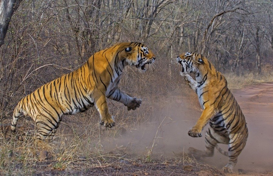 Bengal tigers fighting for territory at ranthambhore national park India.