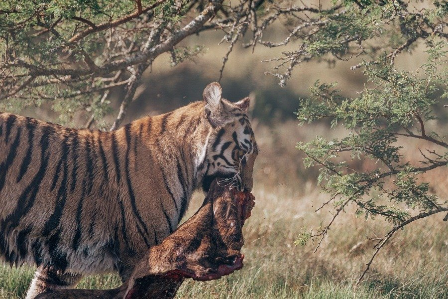 Tiger walking off with its catch in mouth.