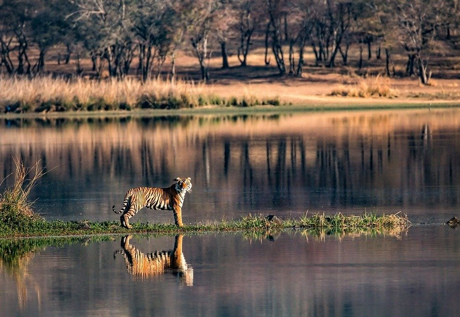 Tiger standing in regal position beside the lake, its reflection in the water.