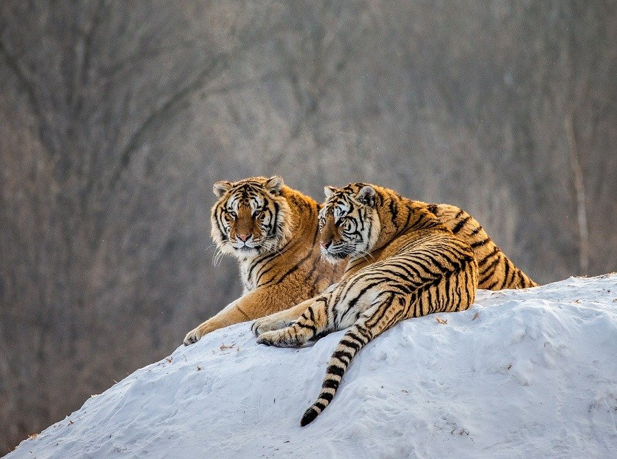 Pair of Siberian tigers on a snowy hill against the backdrop of a winter forest in China.