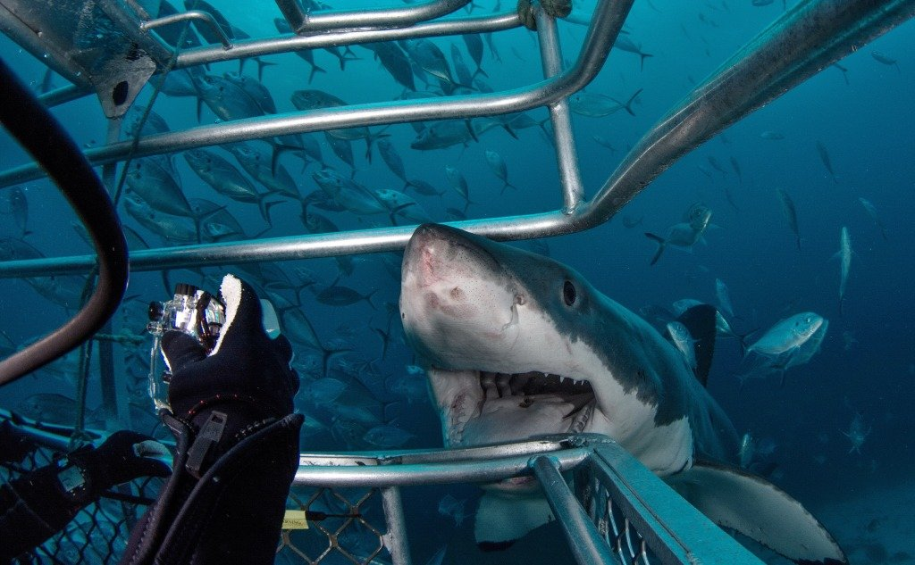 Swimming With Sharks but Not With Crocodiles: Why So?