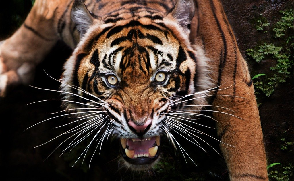 Tiger vs. Grizzly Bear: Who Would Win in a Fight? (+ Facts)