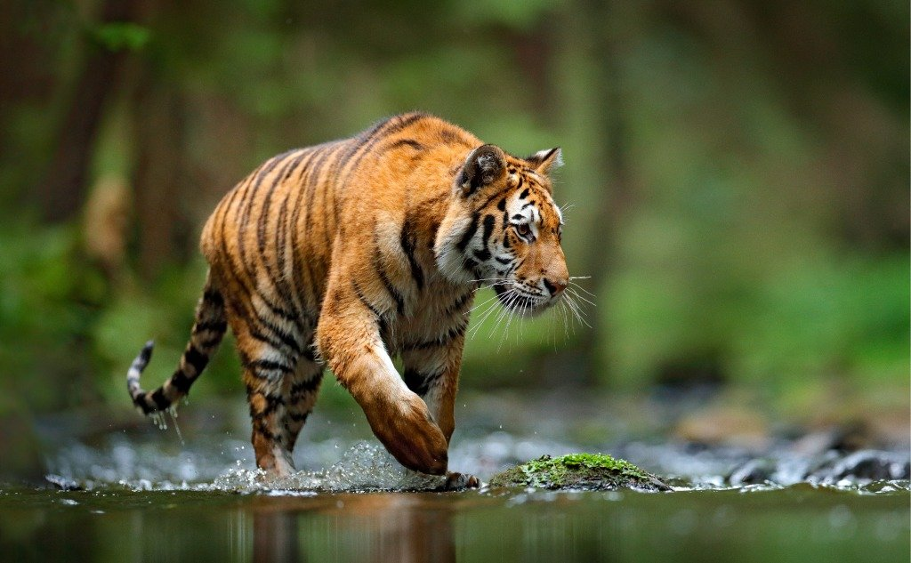 Tiger vs. Python: Who Would Win in a Fight? (+ Vital Facts)